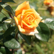 Yellow rose in a rose garden — Stock Photo