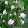 Small roses bush — Stock Photo