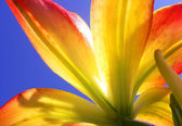 The lily flower close up — Stock Photo