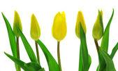 Tulpen — Stock Photo