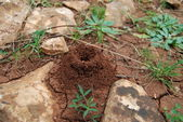 Anthill into the earth among stones and plants — Stock Photo