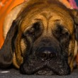 English Mastiff - Stok fotoğraf