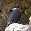 Inca Tern in a cliff - Stock Photo