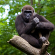 Gorilla in a tree — Stock Photo