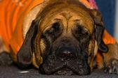 İngiliz mastiff — Stok fotoğraf