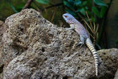 Lizzard on rock — Stock Photo