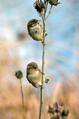 Two Sparrows — Stock Photo