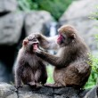Snow Monkeys grooming — Stockfoto