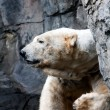 Polar bear head — Stockfoto