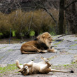 Lioness rolling for lion — Stock Photo