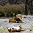 Lioness rolling for lion - Stock Photo