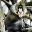 Mandrill sitting on tree branch - Stock Photo