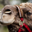 Camel face with rein — Stock Photo