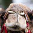 Funny camel face — Stock Photo