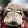 Funny camel face — Stock Photo #2856948