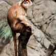 Ebony Langur monkey — Stock Photo