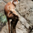 Ebony Langur monkey - Stock Photo