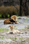 Lion and Lioness laying together — Stock Photo
