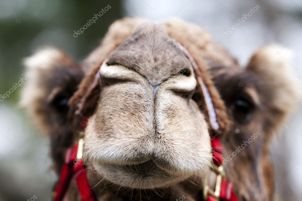 Funny closed nose and mouth of an African Mongolian camel dromedary face.  Stock Photo #2856948