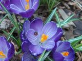 Violet crocuses with ladybird — Stock Photo