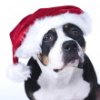 X-mas Dog - Foto de Stock