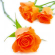 Isolated roses - Stock Photo