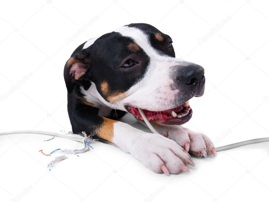 Shot of a dog chewing on a extension cord... Losing internet connection?  Stock Photo #3229099