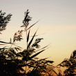 Reeds in sunrise - Stock Photo