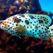 Panther Grouper - 'Cromileptes Altivelis' - Stock Photo