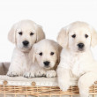 Cute puppies in basket. Isolated - Stock Photo