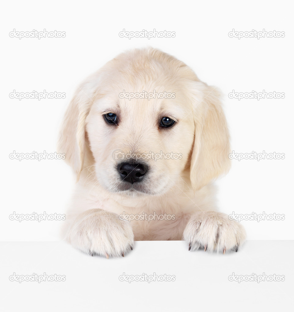 Portrait of a adorable labrador puppy, standing over a white sign for your text. Isolated on white — Stock Photo #3269281