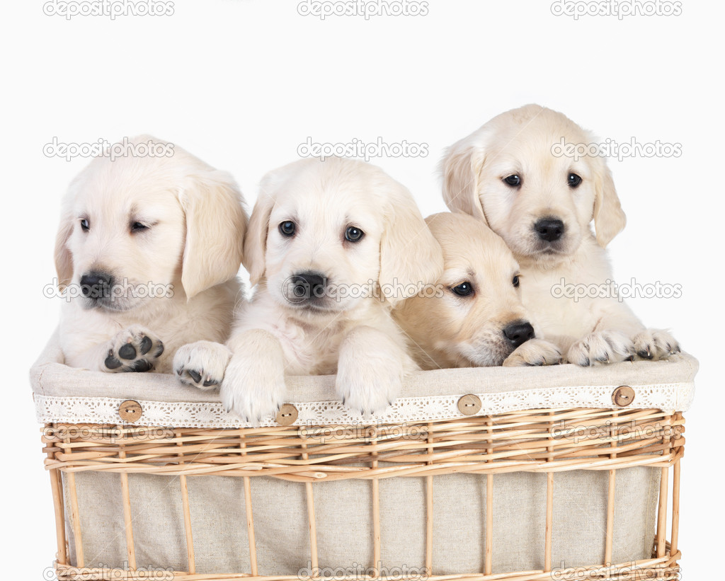Blond young cute puppies in a basket together. Isolated on white  Foto Stock #3269291