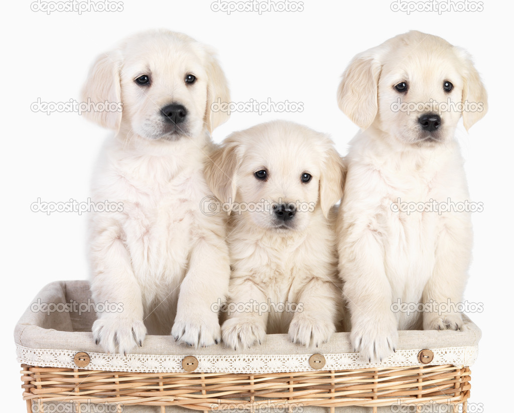 Blond young cute puppies in a basket together. Isolated on white — Stock Photo #3269293
