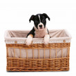 Royalty-Free Stock Photo: Cute young  little puppy in a basket