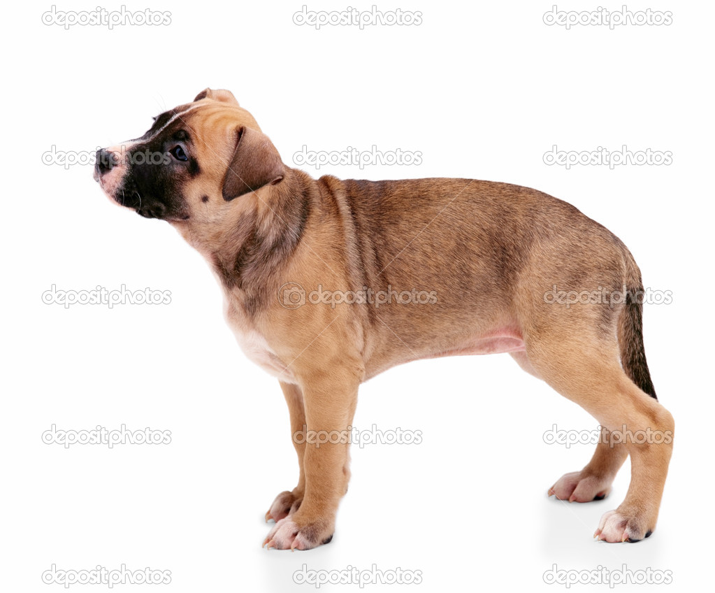 A cute little brown puppy standing in anticipation — Stock Photo #3292856