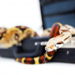 Python coiled up in an opened briefcase on white background - Stockfoto