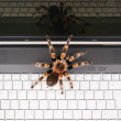 Venomous tarantula on a laptop - Stock Photo