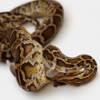 Python preying on a mouse over white background - Stock Photo