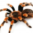 Closeup of a redknee tarantula isolated against white background - Stock Photo