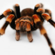 Closeup of a redknee tarantula isolated against white background - Foto Stock