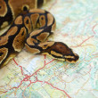 Closeup of a python placed on a map - Photo