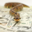 Closeup of a ball python placed scattered money - Stock Photo