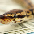 Closeup of a python over a scattered pile of American dollars - Stock Photo