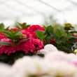 Sweet fragrant flowers at nursery - Stock Photo