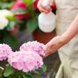 Mid section of lady watering fresh flowers - Stock Photo
