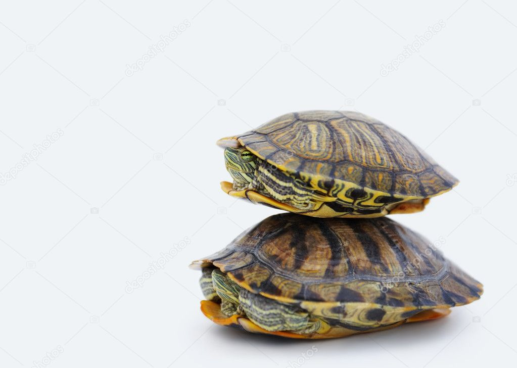 Image of baby turtle balancing over an adult turtle against white background — Stock Photo #3336188