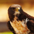 Hawk - Closeup portrait of majestic bird of prey - Stock Photo