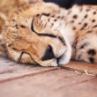 Endangered - Cute baby cheetah sleeping - Stock Photo