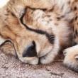 Endangered - Young acinonyx jubatus resting - Stock Photo