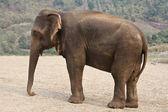 Profile adult elephant. — Stock Photo